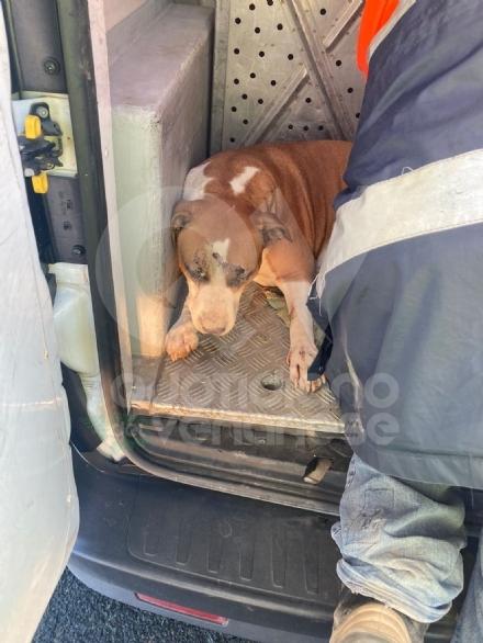 TANGENZIALE DI TORINO - Due cani salvati dalla polizia stradale: uno è stato investito da un furgone