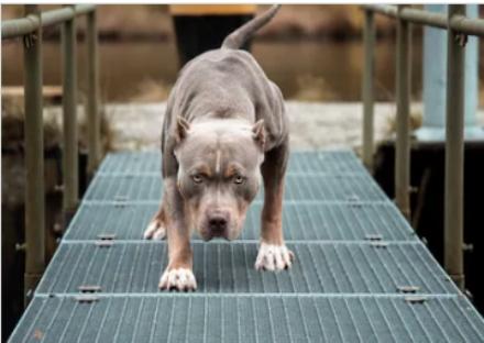 LANZO-CAFASSE - Pitbull e rottweiler aggrediscono un barboncino, feriti la padrona e un passante