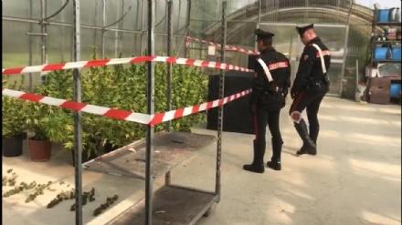 RIVOLI - Carabinieri chiudono il «vivaio della cannabis»: arrestati marito e moglie - FOTO E VIDEO