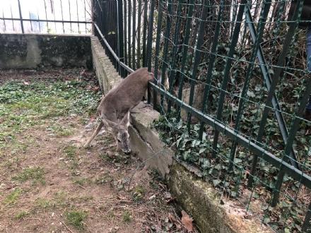 RIVOLI - Una giovane femmina di capriolo intrappolata nel cancello di una villetta - FOTO