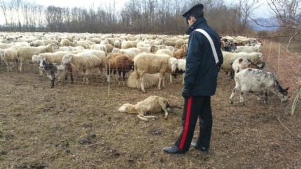 CASELLE - Pecore al pascolo abusivamente: tre pastori denunciati dai carabinieri