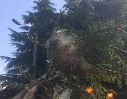 VENARIA - Processionarie: avviati i lavori per la rimozione dei nidi dagli alberi