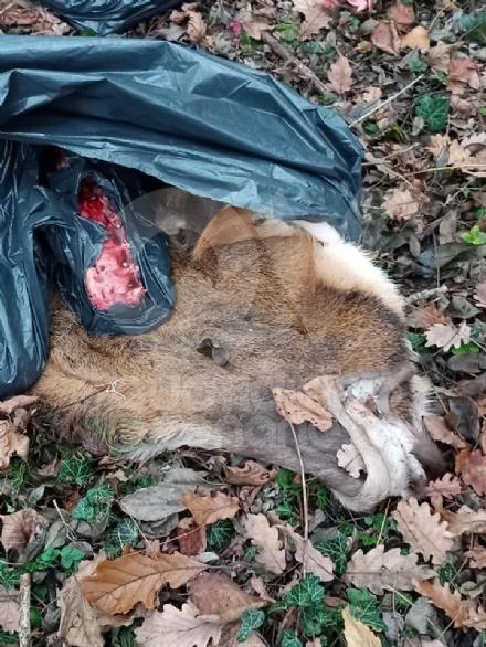 GIVOLETTO - Giallo in strada degli Anterei: animale scuoiato e chiuso in un sacco nero FOTO