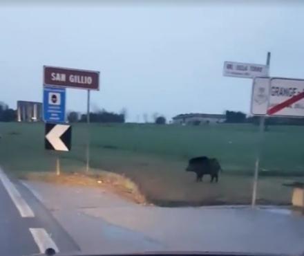IL VIDEO - Un cinghiale a passeggio in Val Ceronda e Casternone