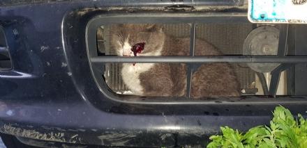 RIVOLI - Incastrato nel radiatore di una macchina: gatto salvato dai vigili del fuoco