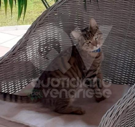 VENARIA - Si cerca Simba, gattino tigrato scappato la notte di San Silvestro: lappello dei padroni
