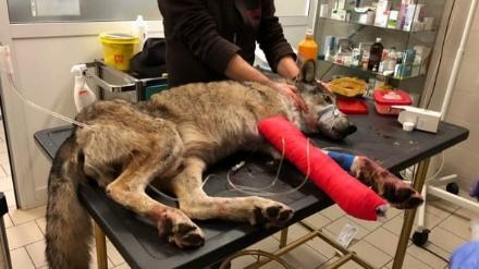 GRUGLIASCO - Addio Wolverine, lanziano lupo «mascotte» del Centro Animali Non Convenzionati