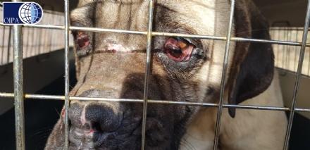 VAL DELLA TORRE - Cani denutriti e malati: chiuso un canile abusivo