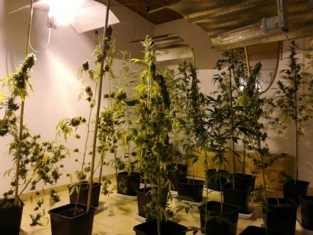 VENARIA - Trasforma la sua casa in una serra per coltivare droga: venariese 44enne nei guai