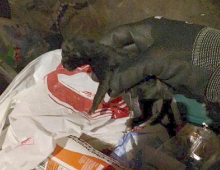 BORGARO - Va a buttare limmondizia e trova nel bidone un gattino ancora vivo