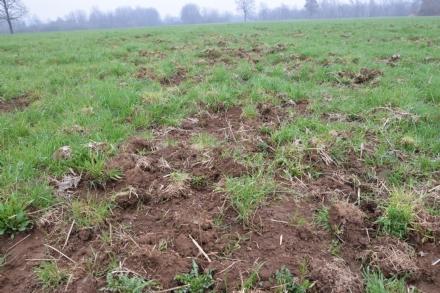 VENARIESE - DANNI DA CINGHIALI: Aumento del 60%, Coldiretti: «agricoltori disperati»