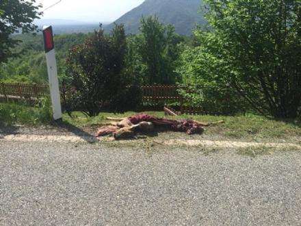 VAL DI LANZO - Capriolo trovato morto e sventrato sul ciglio della strada