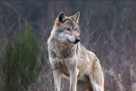 ANIMALI - Carcassa di lupo trovata lungo la tangenziale nord