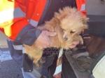 TANGENZIALE DI TORINO - Due cani salvati dalla polizia stradale: uno è stato investito da un furgone - immagine 1