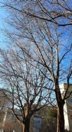 VENARIA - Dopo sei anni, vengono potati gli alberi in via Di Vittorio - immagine 1