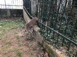 RIVOLI - Una giovane femmina di capriolo intrappolata nel cancello di una villetta - FOTO - immagine 1