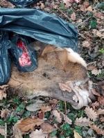 GIVOLETTO - Giallo in strada degli Anterei: animale scuoiato e chiuso in un sacco nero FOTO - immagine 1