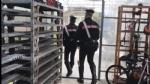 RIVOLI - Carabinieri chiudono il «vivaio della cannabis»: arrestati marito e moglie - FOTO E VIDEO - immagine 2