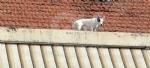 VENARIA - Il cagnolino si fa «un giro» sul tetto: salvato dal volontario di Agriambiente Torino - immagine 2