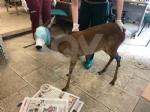 FIANO-GRUGLIASCO - Esemplare di capriolo salvato dal Canc dopo un incidente stradale - immagine 3