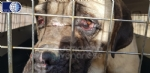 VAL DELLA TORRE - Cani denutriti e malati: chiuso un canile abusivo - immagine 3