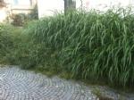 VENARIA - Caldo e temporali: le aiuole diventano piccole giungle... - FOTO - immagine 4