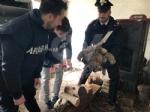 RIVOLI - Traffico illegale di specie animali protette: sequestrate 10 tartarughe ad un 46enne - immagine 5