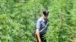 """RIVOLI - In casa una serra per produrre cannabis """"bio"""": tre rivolesi in manette FOTO E VIDEO - immagine 6"""