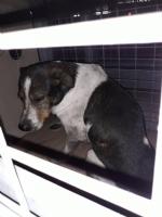 CASELLE - Tre cani incastrati in un tubo rischiano di morire: salvati dai vigili del fuoco - FOTO - immagine 5