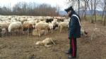 CASELLE - Pecore al pascolo abusivamente: tre pastori denunciati dai carabinieri - immagine 1
