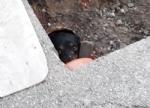 CASELLE - Tre cani incastrati in un tubo rischiano di morire: salvati dai vigili del fuoco - FOTO - immagine 8