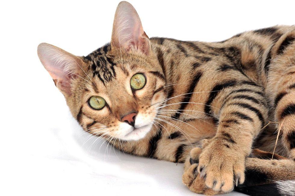 COVID - Primo caso di variante inglese in un gatto: individuato dall'Istituto Zooprofilattico