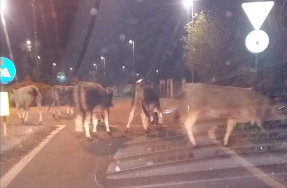 VAL DELLA TORRE - Mandria di mucche invade la provinciale