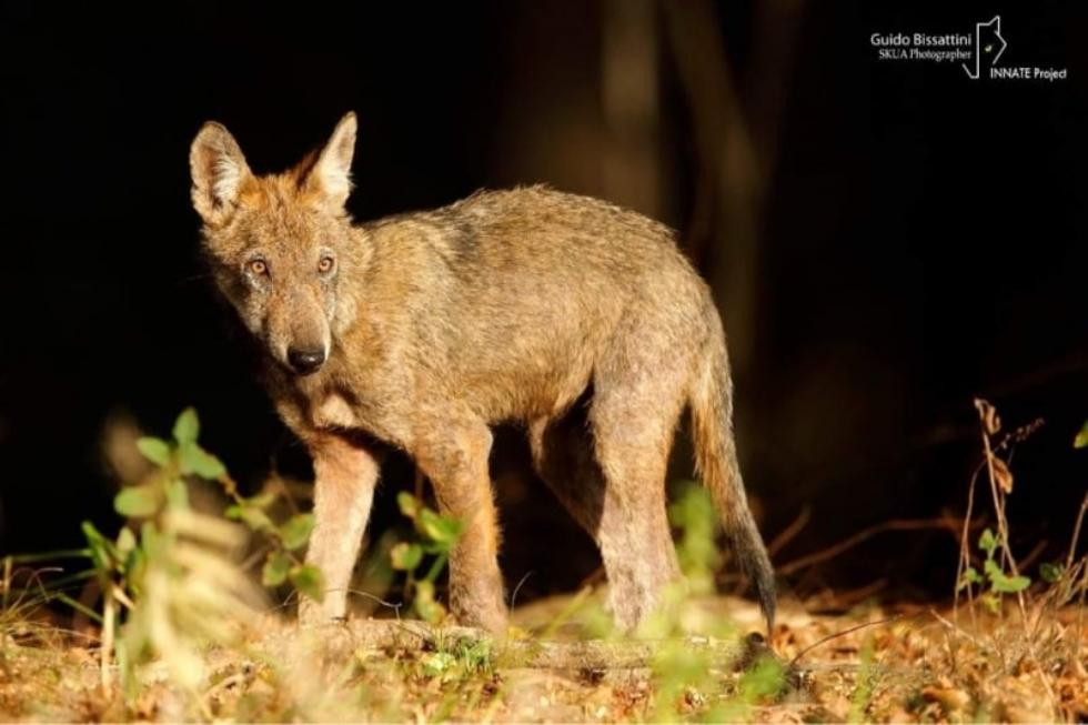 VENARIA - Per il consigliere regionale i lupi in Mandria sono «un pericolo per le scolaresche»