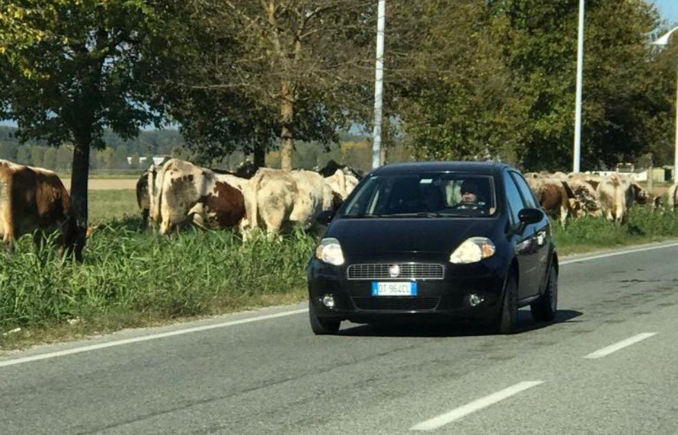 VENARIA REALE - Strada bloccata... dalle mucche: interviene la polizia municipale - VIDEO