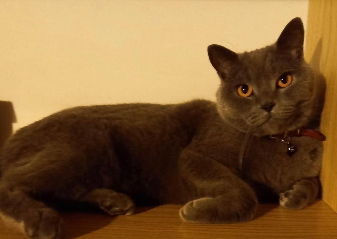 DRUENTO - Si cerca il gatto Pulce, smarrito nella zona di via Torino: l'appello dei proprietari