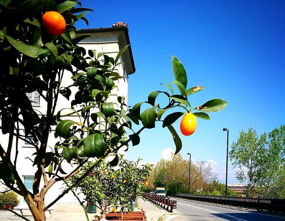 VENARIA - Rubate (e mangiate) alcune arance selvatiche ornamentali in piazza Vittorio Veneto