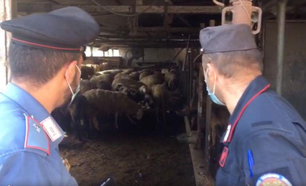 MAPPANO - Nuovo mattatoio abusivo: ovini pronti per essere macellati per la Festa del Sacrificio